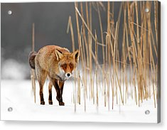 The Catcher In The Reed - Red Fox Walking On Ice Acrylic Print
