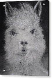 The Charming Llama Acrylic Print