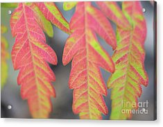 The Colors Of Shumac 8 Acrylic Print