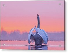 The Conductor - Mute Swan At Sunset Acrylic Print by Roeselien Raimond