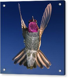 Acrylic Print featuring the photograph The Conductor Of Hummer Air Orchestra by William Lee