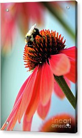 The Coneflower Collection 2 Acrylic Print