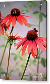 The Coneflower Collection Acrylic Print