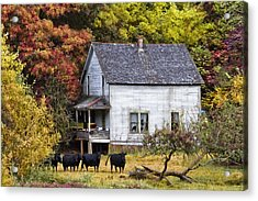 The Cows Came Home Acrylic Print by Debra and Dave Vanderlaan