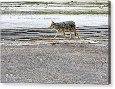 The Coyote - Dogs Are By Far More Dangerous Acrylic Print by Christine Till