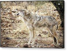 The Coyote Howl Acrylic Print
