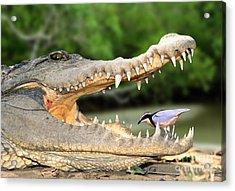 The Crocodile Bird Acrylic Print