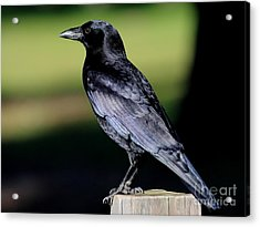 The Crow Acrylic Print by Wingsdomain Art and Photography