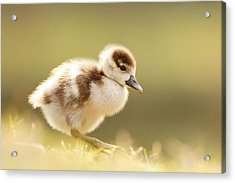 The Cute Factor - Egyptean Gosling Acrylic Print by Roeselien Raimond