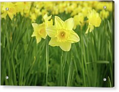 The Daffodils Acrylic Print