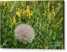 The Dandelion  Acrylic Print