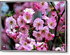 The Delicate Cherry Blossoms Acrylic Print