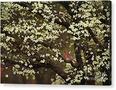 The Dogwoods And The Cardinal Acrylic Print by Darren Fisher