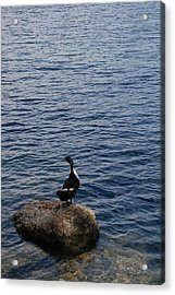 The Duck Acrylic Print by Siobhan Yost