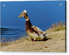 The Duck With The Pillbox Hat Acrylic Print