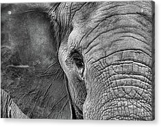 The Elephant In Black And White Acrylic Print