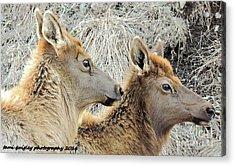 The Elk Of Winter  Acrylic Print