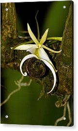 The Elusive And Rare Ghost Orchid Acrylic Print