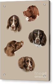 The English Springer Spaniel Acrylic Print by Linsey Williams