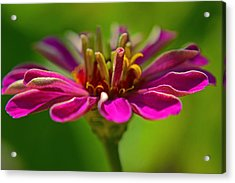 The Esteemed Flower Acrylic Print by Melanie Moraga