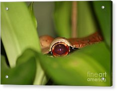 The Eye Of The Boa Acrylic Print by April Holgate