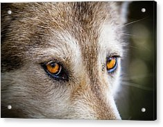 Acrylic Print featuring the photograph The Eyes Of A Great Grey Wolf by Teri Virbickis