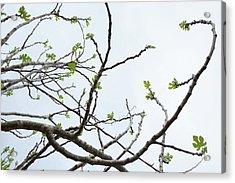 The Fig Tree Budding Acrylic Print by Yoel Koskas