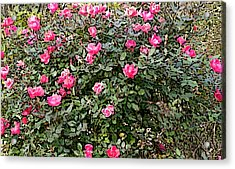 Rose Bush Acrylic Print by Skyler Tipton
