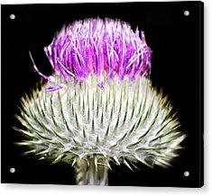 The Flower Of Scotland Acrylic Print