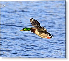 The Fly By Acrylic Print by Robert Pearson