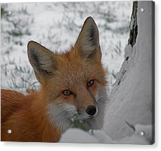 The Fox 4 Acrylic Print by Ernie Echols