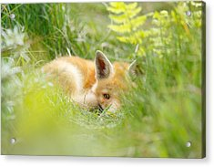 The Fox Kit And The Ferns Acrylic Print by Roeselien Raimond
