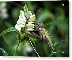 The Frog And The Hummingbird Acrylic Print by Ron Grafe