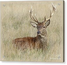 The Gentle Stag Acrylic Print by LemonArt Photography