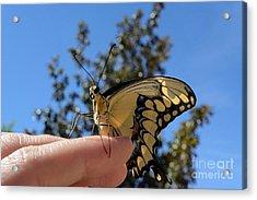 The Glorious Swallowtail  Acrylic Print
