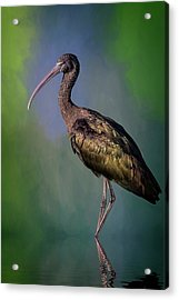 The Glossy Ibis Stroll Acrylic Print