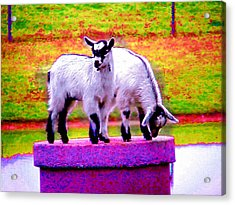 The Goats Acrylic Print by Tim Mattox