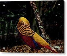The Golden Pheasant Or Chinese Pheasant -atlanta Ga, Zoo Acrylic Print