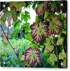 The Grape Vine Acrylic Print by Corinne Rhode
