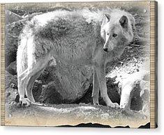 The Gray Wolf Acrylic Print by Debra     Vatalaro