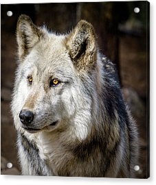 Acrylic Print featuring the photograph The Gray Wolf by Teri Virbickis