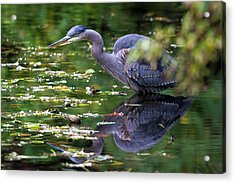 The Great Blue Heron Hunting For Food Acrylic Print by David Gn