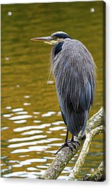 The Great Blue Heron Perched On A Tree Branch Acrylic Print by David Gn