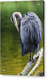 The Great Blue Heron Perched On A Tree Branch Preening Acrylic Print by David Gn