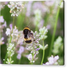 The Great British Bee Acrylic Print