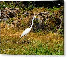 Egret Against Driftwood Acrylic Print