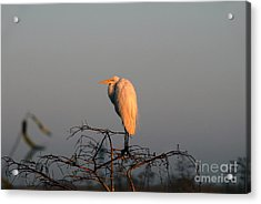The Great Egret  Acrylic Print by David Lee Thompson
