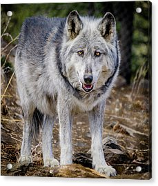 Acrylic Print featuring the photograph The Great Gray Wolf by Teri Virbickis