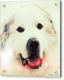 The Great Pyrenean Acrylic Print