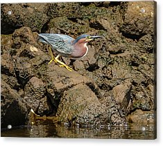 The Green Heron Acrylic Print by Jerry Cahill